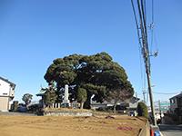末長杉山神社御神木