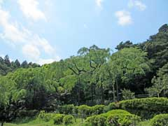 紹太寺長興山の枝垂桜