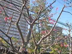 龍眼寺の紅梅