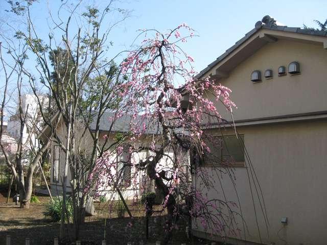 霊巌寺本堂裏の梅と客殿