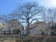 圓蔵院シダレザクラ