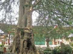 善養寺カヤの木