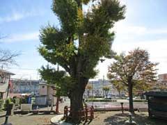 東中野熊野神社御神木