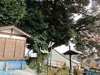 師岡神社シイの木