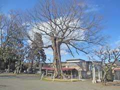 御嶽神社(石畑)ケヤキ